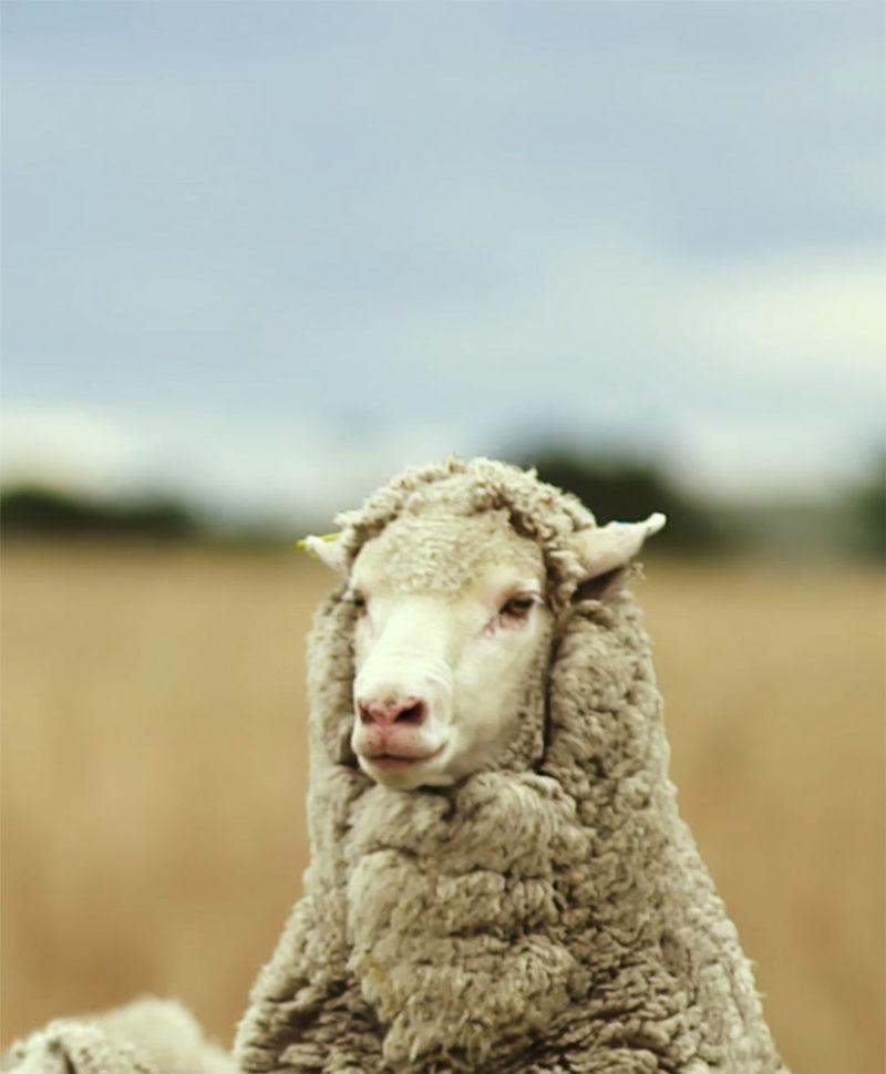 Reda – Woolmasters